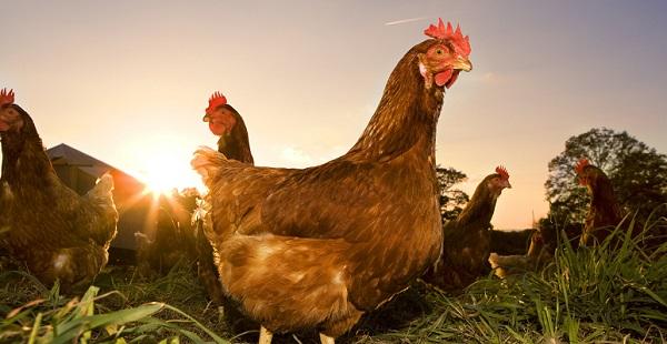 Собирать во сне яйца в курятнике thumbnail