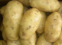Картофель Санте – описание сорта
